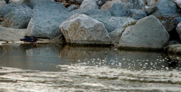 Kingfisher, hunting prey.