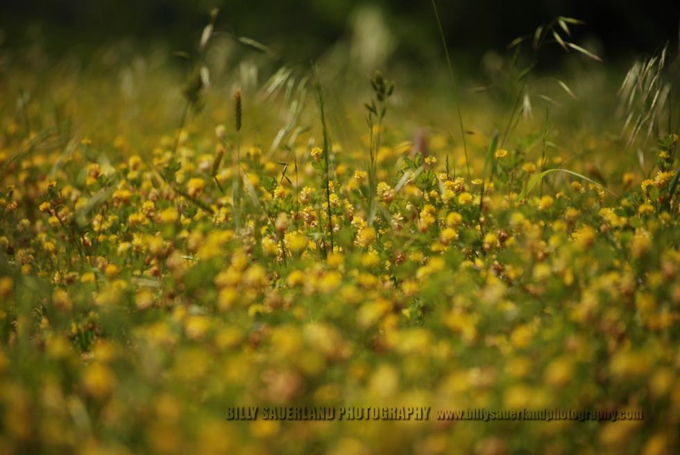Wild flowers, at Lake Greenleaf State Park, Oklahoma.