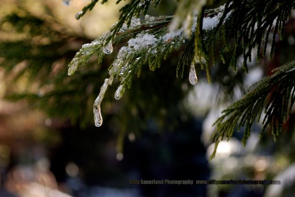 Icy drips along the Carlon Falls Trail just outside of Yosemite Nat, Park.