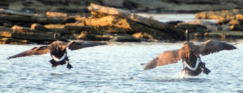 A cropped view of the Geese coming in for a landing on the river.