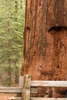 While hiking to the Tuolumne Grove of Giant Sequoia, I came across this beauty.