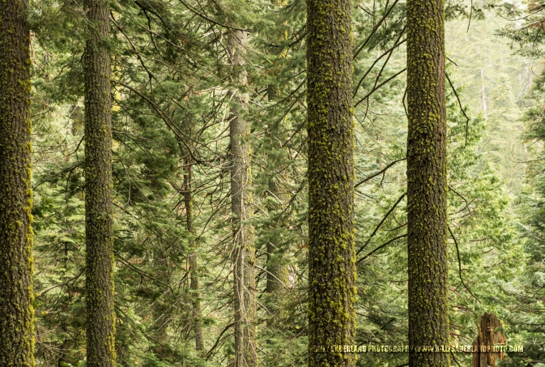 This scene was along the hike to the Tuolumne Grove of Giant Sequoia in Yosemite National Park.