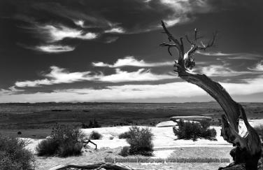 Desert Juniper, just north of Capital Reef National Park, Utah, United States.