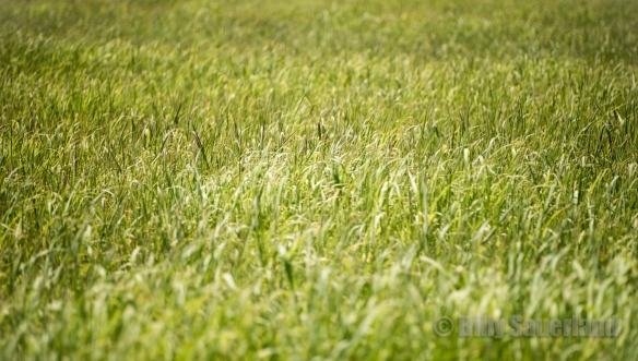 Sea of grass