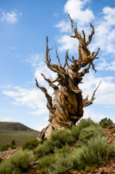 """Centinal"" Bristlecone Pine Tree, Inyo National Forest, White Mountains, California"