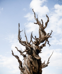 """""""Old Man in the Sky"""" Bristlecone Pine Tree, Inyo National Forest, White Mountains, California"""