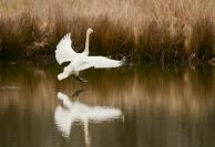 """Swan Landing"" Oxley Nature Center, Tulsa, OK"