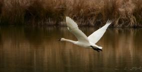 """Swan in Flight"" Oxley Nature Center, Tulsa, OK"