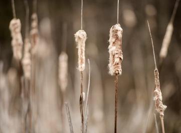 """Cattails"" Oxley Nature Center, Tulsa, OK ©Billy Sauerland"