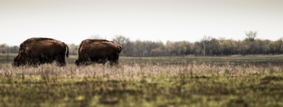 """Grazing Bison"" Tall Grass Prairie Preserve, north of Pawhuska, OK"