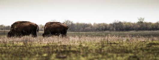 """Grazing Bison"" Tall Grass Prairie Preserve, north of Pawhuska, OK"