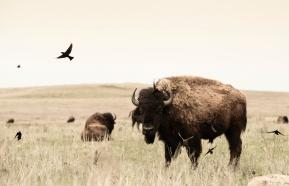 """Birds and Bison"" Tall Grass Prairie Preserve, north of Pawhuska, OK"