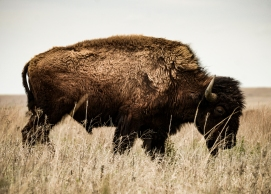 Bison, Tall Grass Prairie Preserve, Pawhuska, Oklahoma ©Billy Sauerland